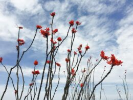 Red desert flowers with a blue sky behind them